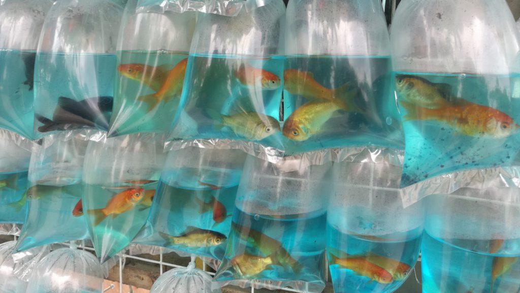 フィリピンの金魚すくい
