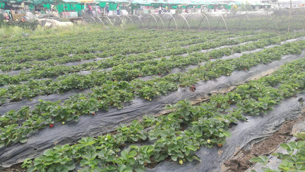 イチゴ畑 イチゴ狩り