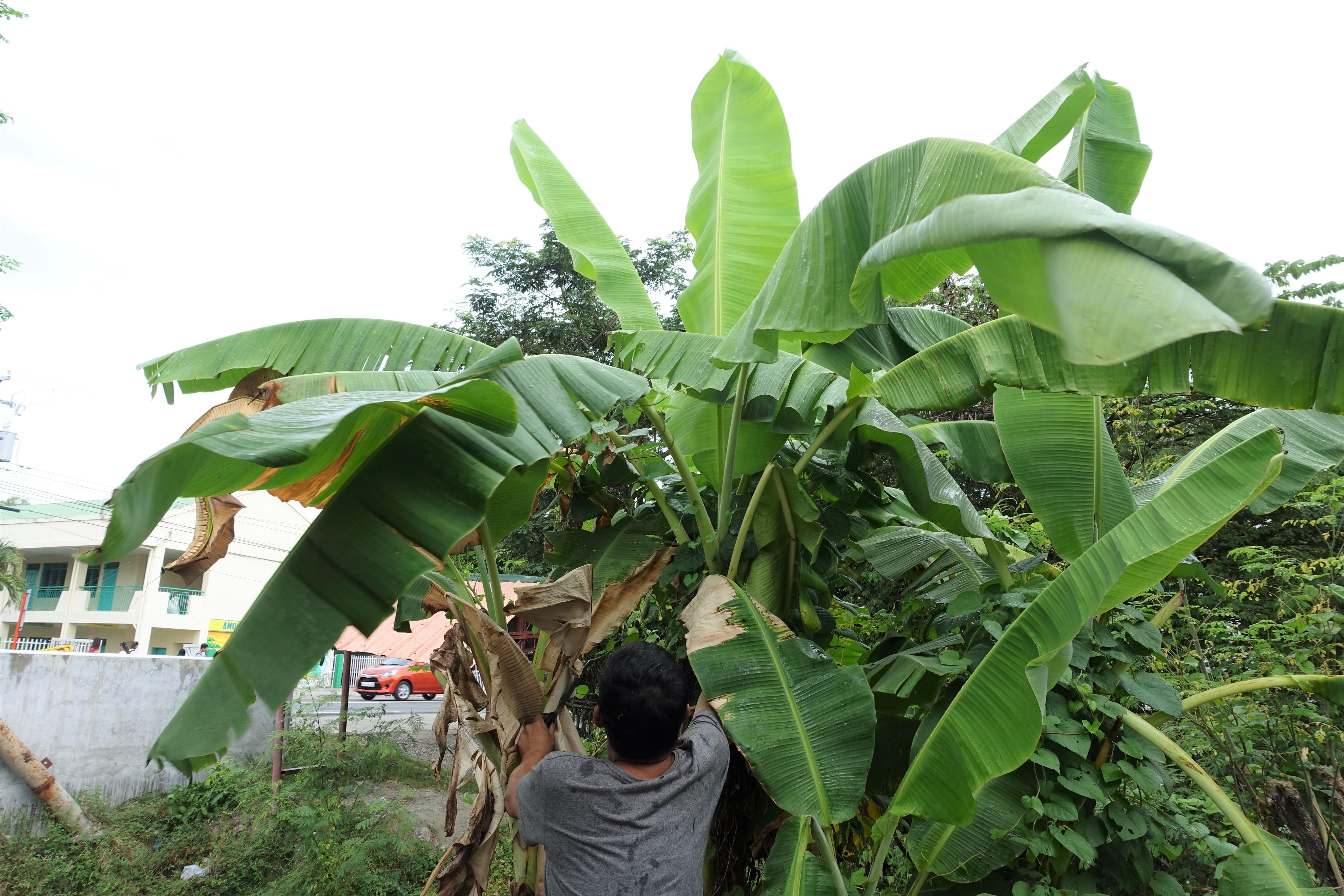 バナナの木 バナナリーフ
